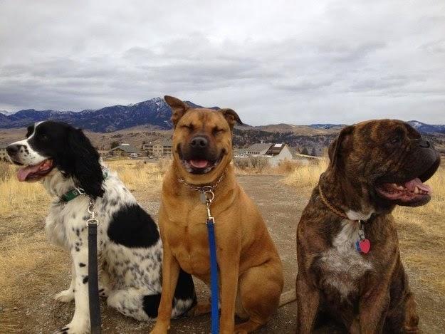 Three Cute Bulldogs Beautiful