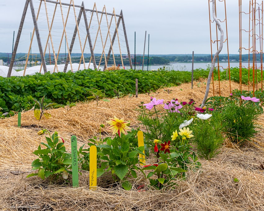 Portland, Maine USA June 2019 photo by Corey Templeton. Flowers in bloom at the Common Share Garden on the Eastern Prom. A lovely vista of Casco Bay is in the background.