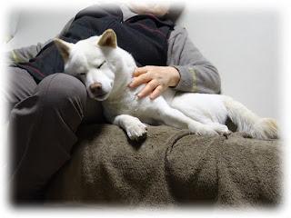 家内に寄りかかって寝ている白柴チロ