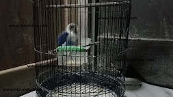 https://www.mysomer.com/2019/11/alternatif-mengatasi-lovebird-yang-sering-di-bawah-sangkar.html
