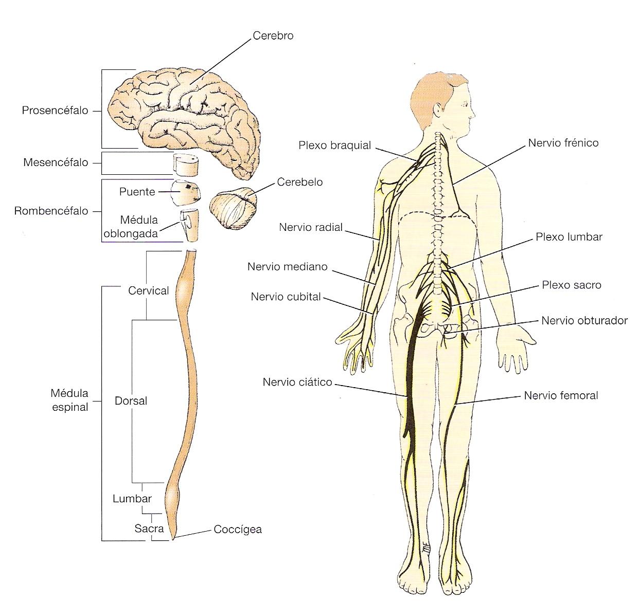 Sistema Nervioso Humano Estructura Y Componentes