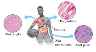 Tiga Jenis Otot pada Tubuh Manusia