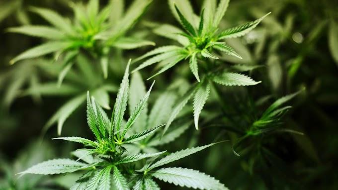 A kertben és a ház tetején lévő balkonládában termesztett marihuánát egy tatabányai férfi: lecsaptak rá a rendőrök