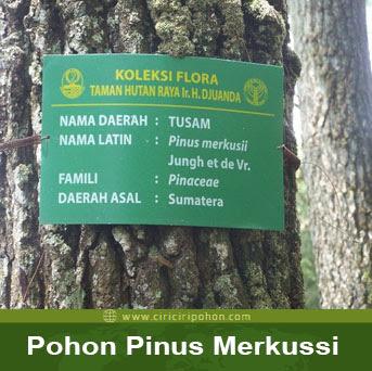 ciri ciri pohon pinus merkusii