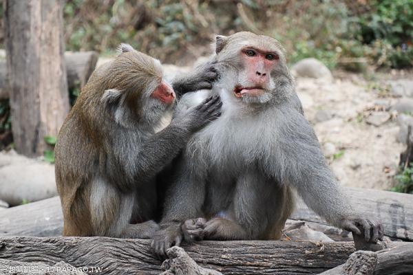 台中北屯|郭叔叔獼猴生態區|100多隻野生獼猴還會照鏡子|大坑中正露營區4號步道旁