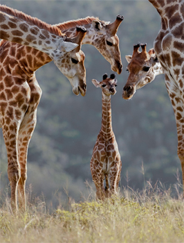 image of a baby giraffe on a savannah, with three adult giraffes leaning over to investigate it