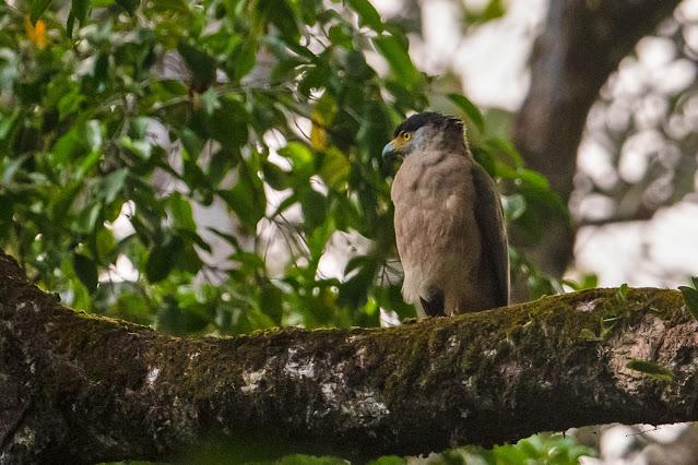 Nicobar Serpent-Eagle - Image by Aseem Kothiala