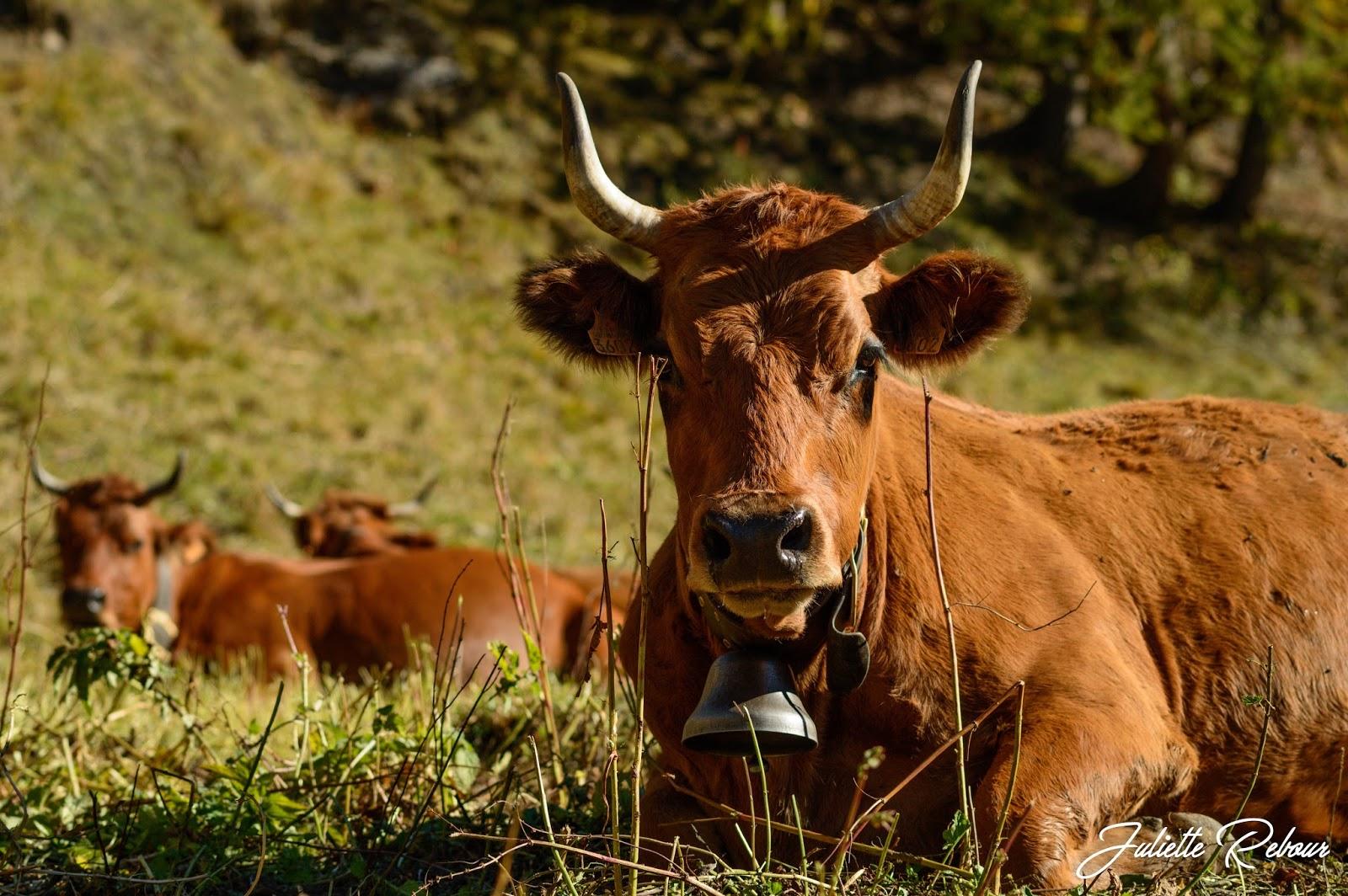 Vache tarine en Tarentaise