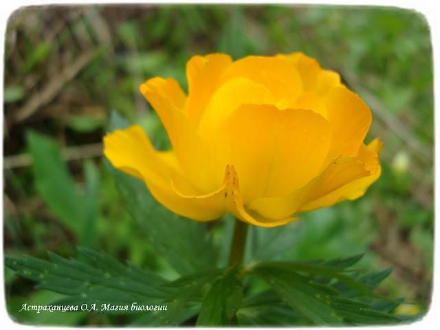 stroenie-okolocvetnika-i-chashechki-cvetka-magija-biologii-kupalnica-aziatskaja