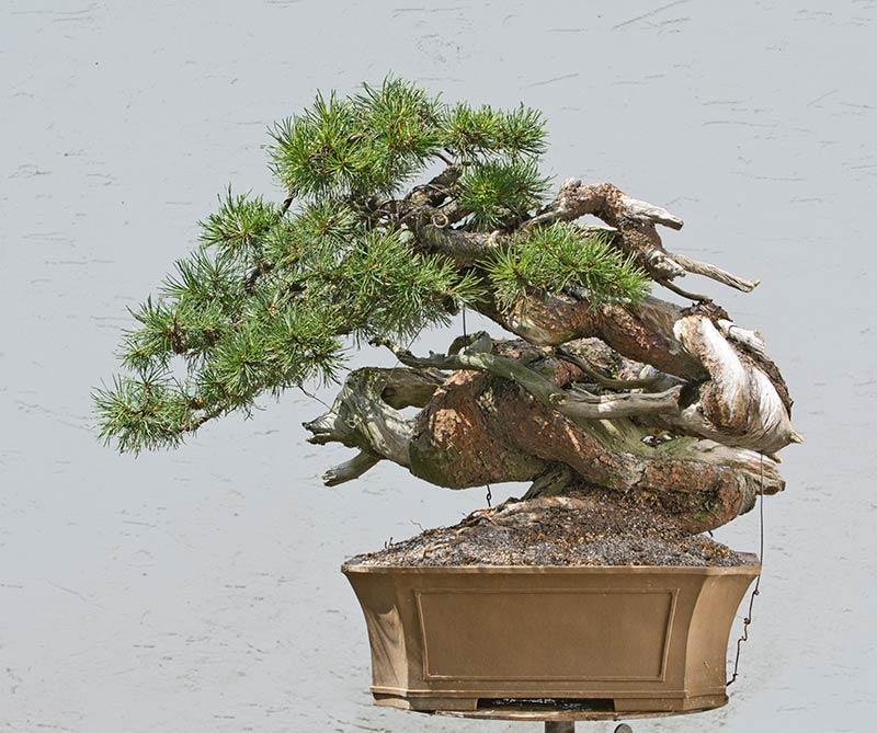walter pall bonsai adventures mugo pine 57. Black Bedroom Furniture Sets. Home Design Ideas