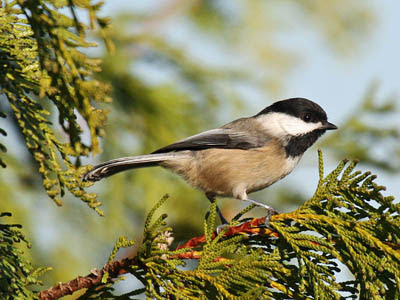 Photo of Black-capped Chickadee in a cedar