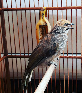 Daftar-Harga-Burung-Cucak-Rowo-2019