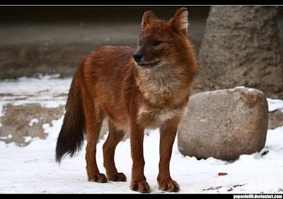 Dhole WildLife Facts File | All Wildlife Photographs