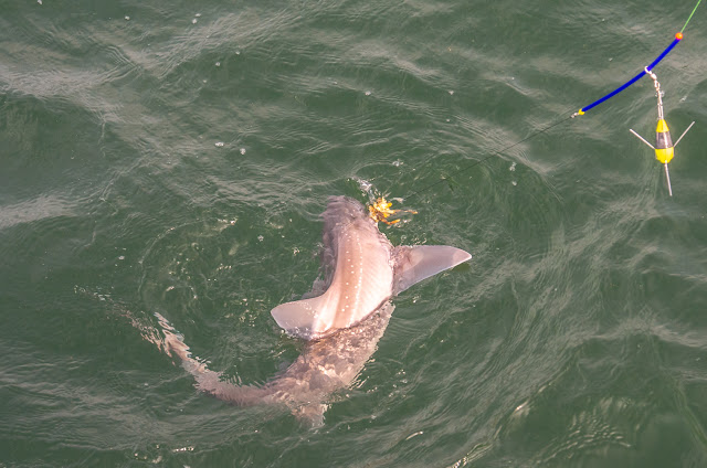 Photo of the big smooth-hound that got away
