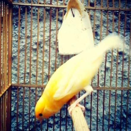 juga mempunyai beberapa keistimewaan diantaranya yaitu bulu burung kenari yang indah tamp Daftar Harga Burung Kenari di Pasar Pramuka 2018