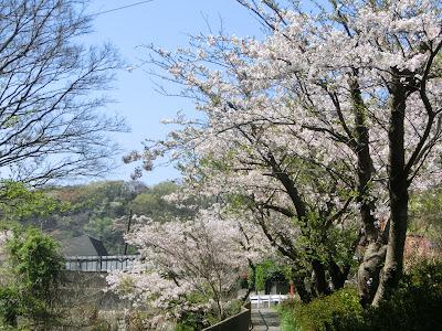 十二所神社バス停付近の桜