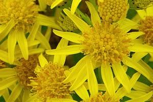 flores de árnica montana