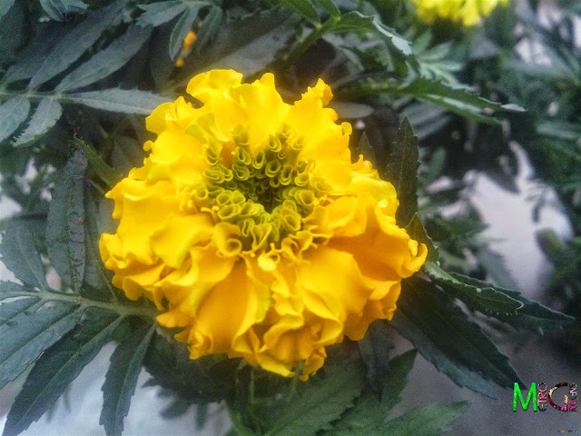 Metro Greens: Yellow Marigold