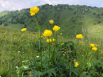 [Ranunculaceae] Trollius eruopaeus – Globeflower (Botton d'oro)