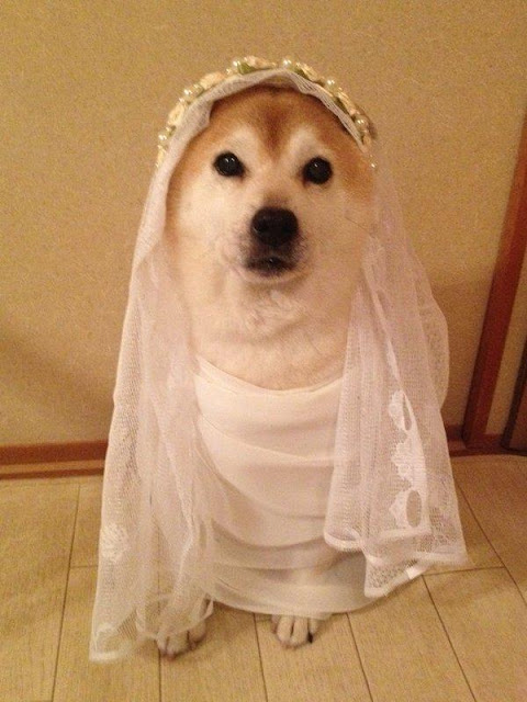 Có chó Shiba biết cosplay như này, chắc cả ngày lôi ra chụp ảnh