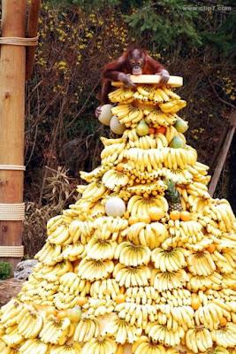 Fotos locas: mono millonario bananas platanos