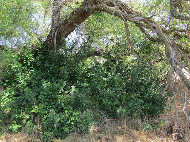 """Larry"" Moore Park in Paso Robles: A Photographic Review - Green Poison Oak in June"
