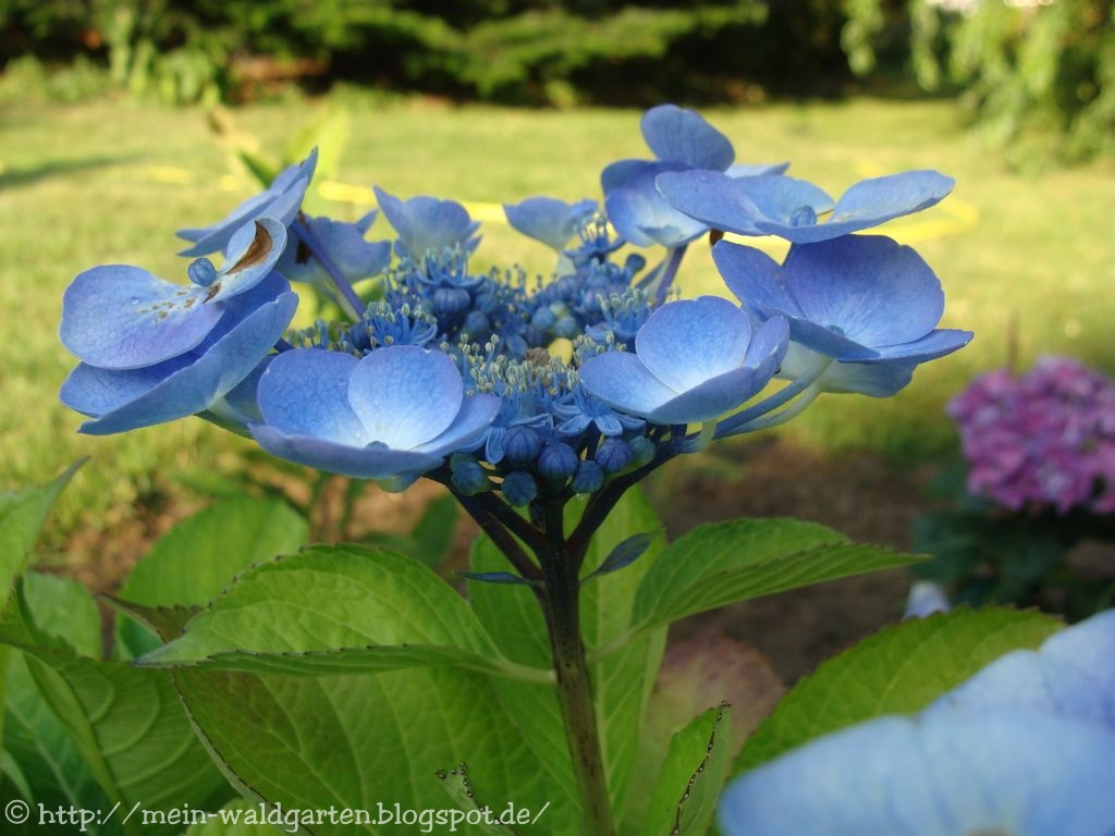 mein waldgarten hortensien hoffentlich blau blaue steinsame. Black Bedroom Furniture Sets. Home Design Ideas