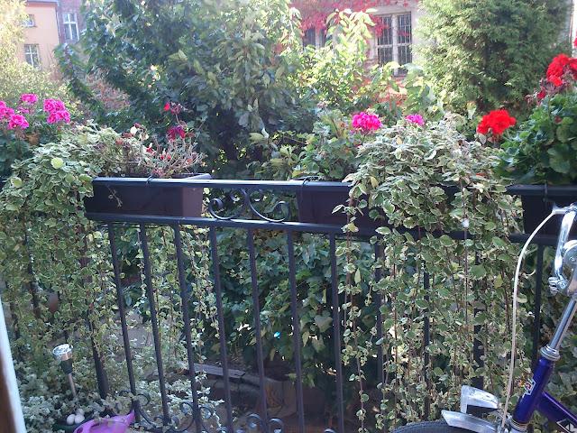 komarzyca pelargonie balkon