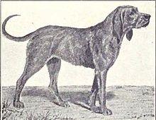 Chien-gris-pets-dog breeds