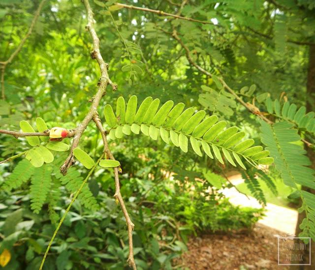 tamaryndowiec indyjski (tamarindus indica) warunki uprawy, opis gatunku. Wymagania wodne, glebowe tamaryndowca, a także jego wygląd - liście, kwiaty, owoce, korzenie.