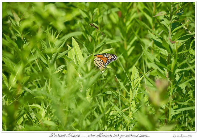 Wachusett Meadow: ... when Monarchs look for milkweed leaves...
