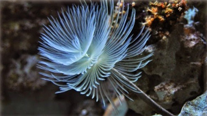 tube worm aquarium types, tube worm feather duster, tube worm aquarium, tube worm facts, tube worm anatomy, brittle star, tube worm reef tank, red tube worm, you tube worm