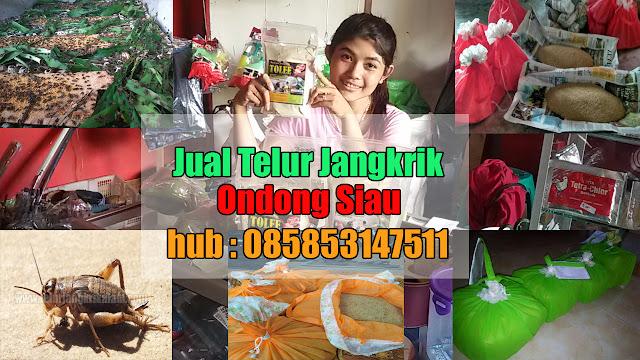 Jual Telur Jangkrik Ondong Siau Hubungi 085853147511-