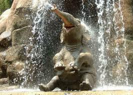 Resultado de imagen de elefantes africanos abanicándose con las orejas