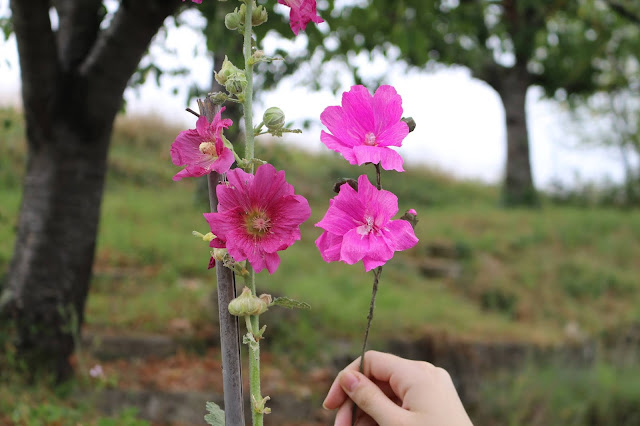 Real and paper hollyhock