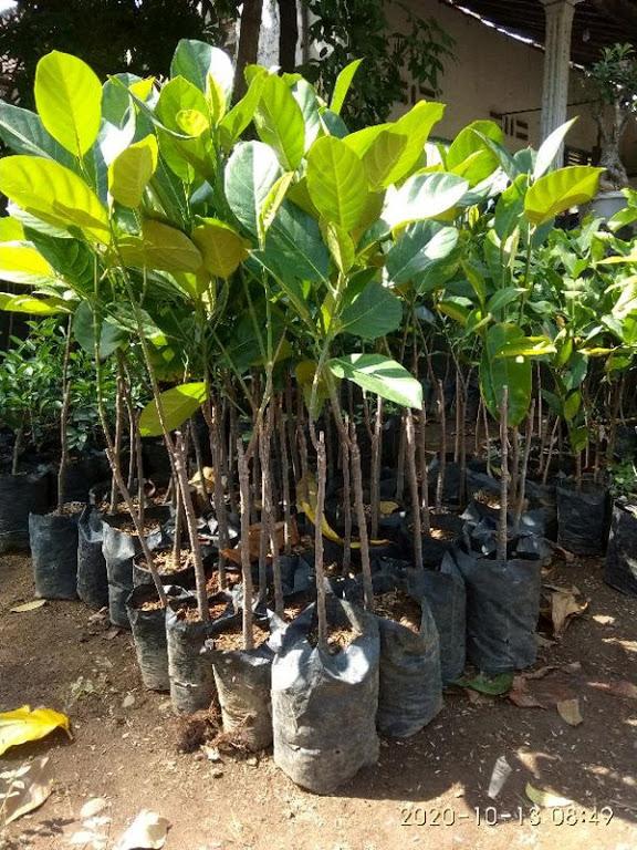 bibit buah nangkadak super asli persilangan nangka dan cempedak Sumatra Selatan