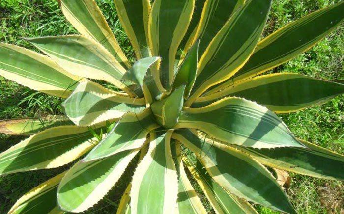 Evolución de la familia Agavaceae.