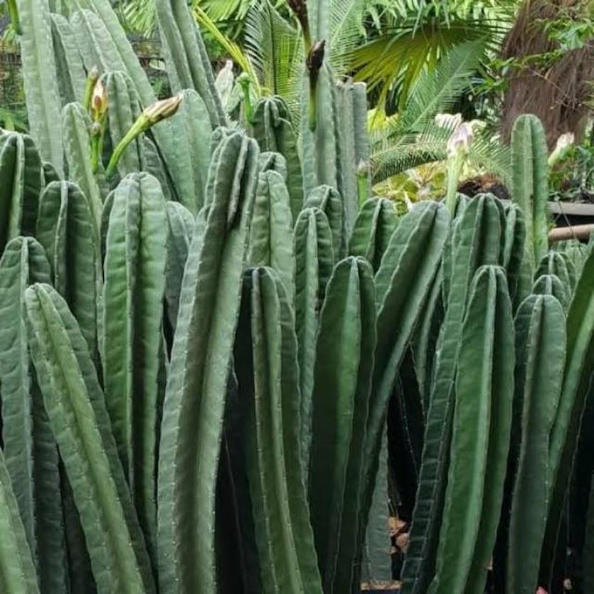 Tanaman hias bunga kaktus belimbing cowboy cactus Cirebon