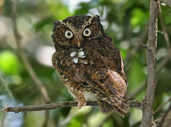 Merupakan spesies burung hantu berukuran kecil yang hidup di kawasan hutan pegunungan Mengenal Burung Hantu Celepuk Gunung