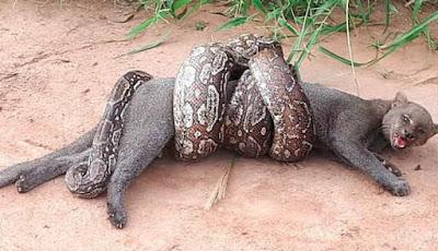 Nasib kucing dililit ular boa pembelit