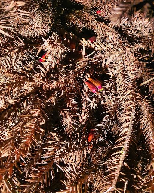 sapecada de pinhão na grimpa