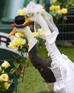 أزياء البط أستراليا