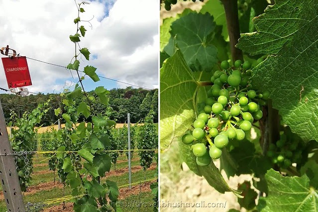 Chardonnay grapes vineyard walking trail flemish brabant
