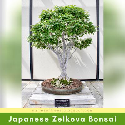 Japanese Zelkova Bonsai