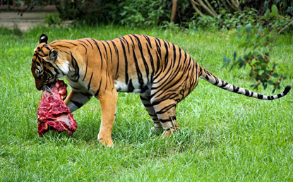 a tiger eating a chunk of meat