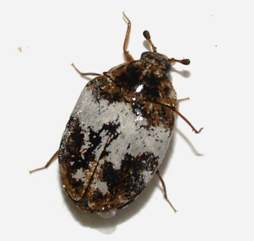 Arizona Beetles Bugs Birds And More Carpet Beetle