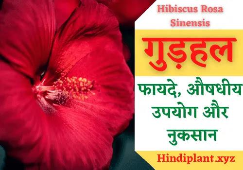 गुड़हल के फायदे, औषधीय उपयोग और नुकसान। Benefits Of Gudhal Flower & Leaves In Hindi