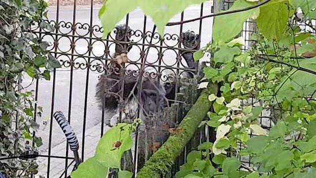 مقتل توأم شمبانزي يُثير صدمة لدى الشعب الهولندي