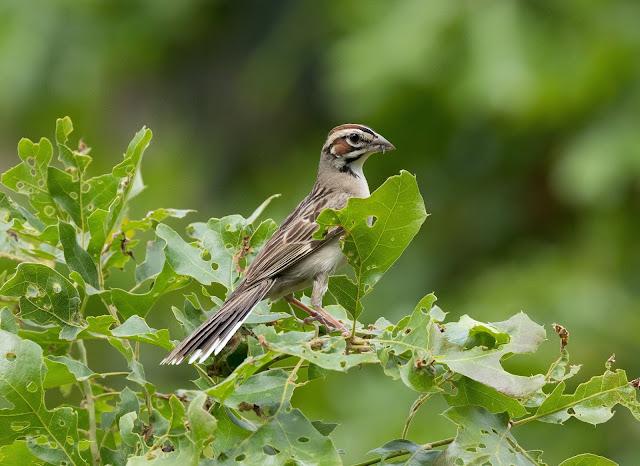 Lark Sparrow - Oak Openings Preserve, Ohio, USA