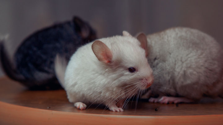 How to Take Care of a Chinchilla